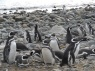 Schattige pinguïns