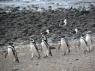 Pinguïns op wandel
