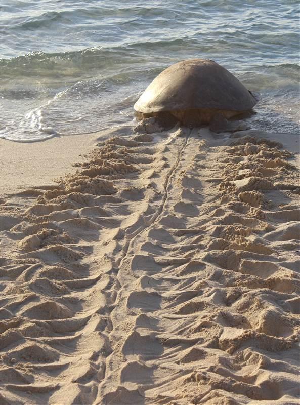 Turtle nesting!