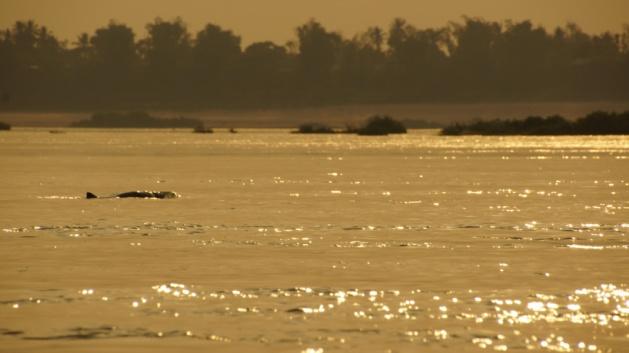 Irriwaddy Dolfijn