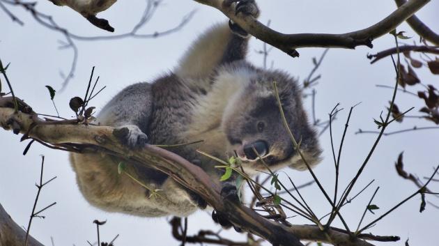 wilde koala