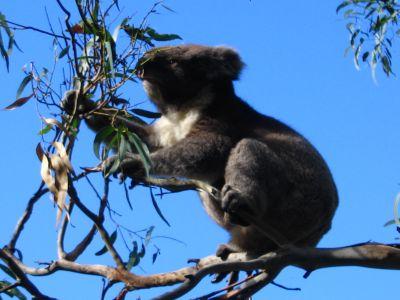 Great Ocean Road - Koala Kennett River