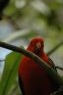 Taronga Zoo Rooie vogel